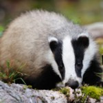 Stop the Badger Cull in the UK!