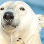 Free Arturo the Polar Bear from His Hot, Lonely Pen