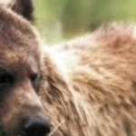 British Columbia: Ban grizzly bear hunting!