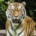 Save Tigers From Deadly Wire Traps