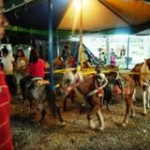 Ban the Use of Live Ponies for Carousel Rides
