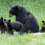 Ontario, Don't Bring Back the Spring Bear Hunt!
