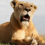 Stop Allowing Wealthy Tourists to Kill Lions
