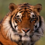 Save Tigers and Rhinos in Nepalese National Park