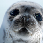 End Canada's Seal Hunt