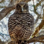 Save Australia's Powerful Owl from Extinction!
