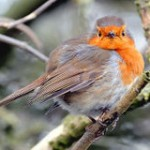 Save Robins from Massacre in England!