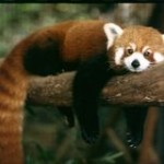 Save Red Pandas Before It's Too Late!