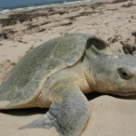 Save the World's Smallest Sea Turtle from Extinction!