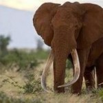 "Kenya, Don't Let Another ""Great Tusker"" Elephant Die!"