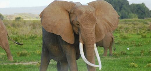 elephant_header