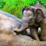 Save Borneo's Pygmy Elephants