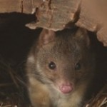 Save the Northern Quoll from Extinction