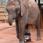 You can help a crippled baby elephant walk again