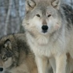 Stop brutal wolf killings in Alberta and B.C.!