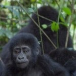 Mountain gorillas could lose their only home