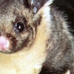 Protect yellow-bellied gliders from logging!