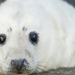 Stop the Secret Seal Slaughter!