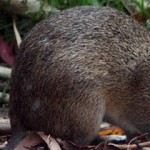 Protect The Endangered Bandicoot From Extinction!