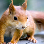 Demand a forest corridor for the red squirrels of Loch Ness