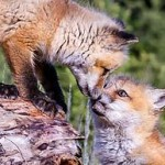 We must act now to stop the return of fox hunting!