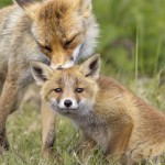 Urge the EU to Ban Cruel Fox Hunting