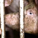Fight back against the cruelty of factory farms