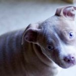Stop Banning Pit Bull Terriers