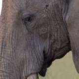 African Elephant in the Serengeti National Park, Tanzania, Africa
