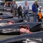 Stop the Faroe Island Whale Slaughter!