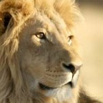 Tell the EU to ban imports of lion hunting trophies