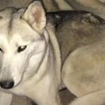 Save Karma the Husky from Being Euthanized!