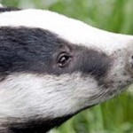 Stop the inhumane, ineffective and unscientific badger cull!