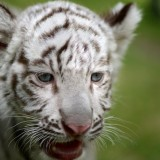 Cub of White Tiger face focus to head and eye