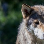 Stop the Norway Wolf Hunt!