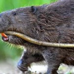 Stop the shooting of beavers in Scotland!