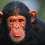 Tell Citibank to save 66 chimps from starvation