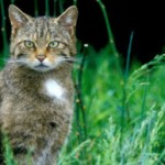 Demand better conservation management to save the Scottish wildcat