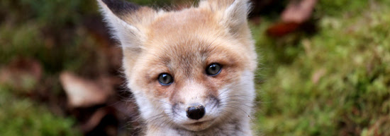Demand an end to the killing of fox cubs