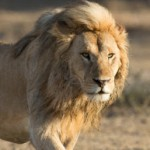Ban Canned Lion Hunting in South Africa
