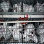 Tell pet food retailers to stop importing caged rabbit meat for UK pet food!