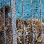 Save lions and bears from starvation in Armenian zoo