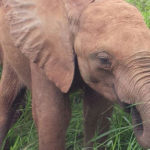 Muchichili and other orphaned baby elephants still need you